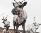 Reservoir Reindeer
