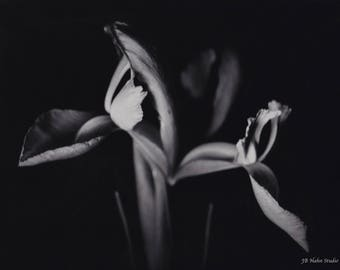 Japanese Iris Black and White Photograph