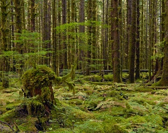 An Old Growth Stump In a Spruce Forest, Panorama, Rainforest, Nature, Fine Art Photography, Northwest, Washington State, Landscape, Wall Art