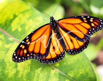 Monarch Butterfly Photo -- Digital Download