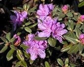 LIVE PLANT -- Rhododendron Ramapo - Dwarf Rhododendron