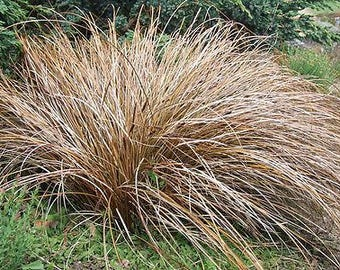 Carex | Etsy