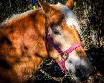 Horse Photo Print - Horse Wall Art - Horse Portrait - Horse Photography - Equine Photography - Haflinger - Flaxen Mane - Chestnut - Red