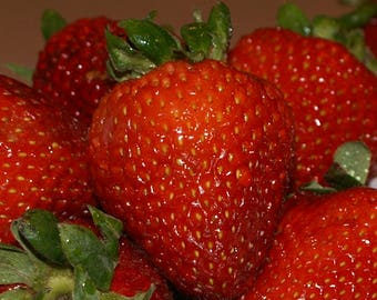 Seascape Everbearing Strawberry Plants-Super Sweet (Pack of 10 Bare Root Plants) Zone 4-9