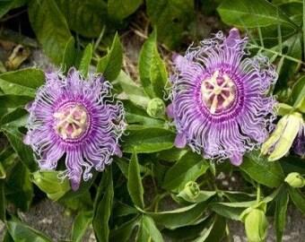 Passiflora Incarnata MAYPOP - LIVE PLANT - Edible - Cold Hardy - Drought Resistant