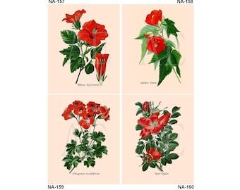 NA157-160 Artistic Ephemera Nature Print - Choose 8x10 or 5x7 - Edward Step Favourite Flowers Red Hibiscus, Abutilon, Rosa Rugosa Primrose