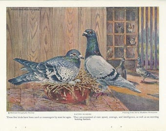 1926 Vintage Book Plate -  Pigeons / double sided /Racing Homers / Table Pigeons
