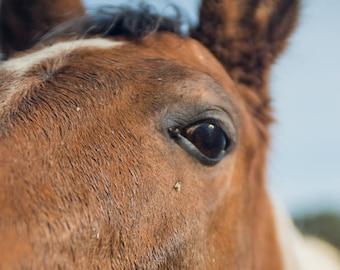 Horse Eye Portrait Farm Animal Portrait Art Photography by Sarah McTernen
