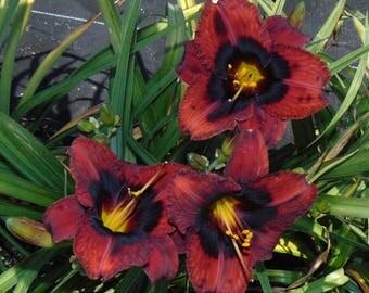 Daylily Plant - Fusion Jazz (3-12-17)