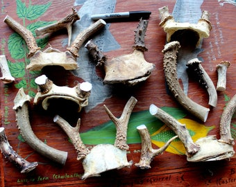 Lot of deer antler and skull bone pieces for carving and crafts DESTASH