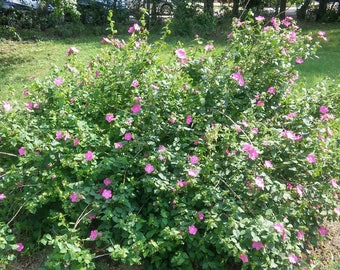 Imperial Pink Rock Rose heat and drought tolerant