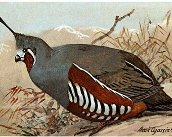 Vintage Wildlife Postcard - A Mountain Quail -- Artist Signed, Louis Agassiz Fuertes (Unused)