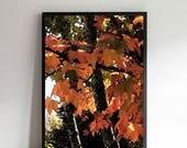 Autumn Maple Leaves Print...