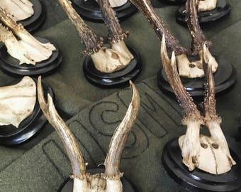 Vintage Roe Buck Trophy Antlers on Wooden Plaque