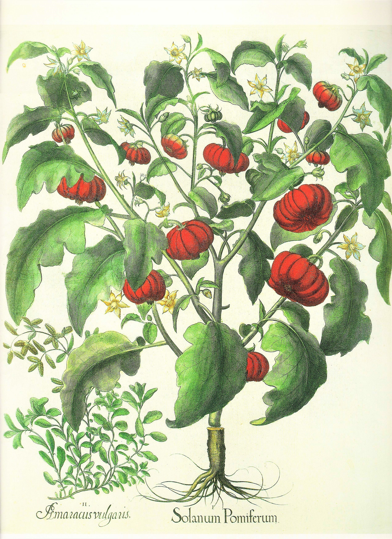 Vintage Botanical Book Plate Apple Balsam / Nightshade 324/325 ...