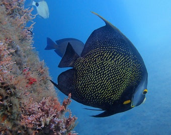 Angelfish Underwater Photography Digital Download for Wall Print and Home Decor