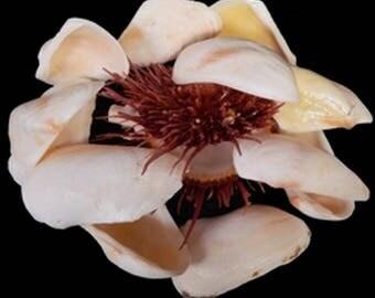 "4--Propellar Seashells 2.5"" to 3""--aquariums-terrariums--crafting"