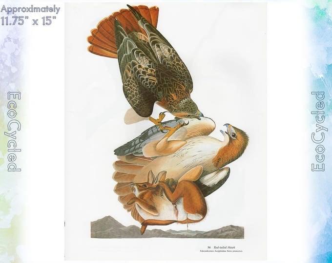 Red Tailed Hawks Birds of America Vintage Art Print Nature Vintage Paper Ephemera John James Audubon Baby Elephant Folio frameable 55