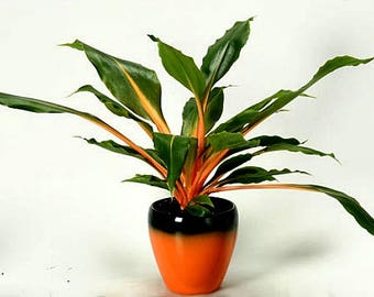 Mandarin Plant, easy houseplant, 25 seeds, Chlorophytum, orange stems, showy foliage, shade garden, as easy to grow as a spider plant