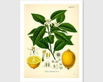 Lemon And Branch Botanical Print, 1887 - 8.5x11 Poster Print - also available in 11x14 and 13x19 - see listing details