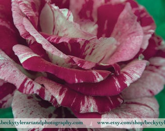 Pink Rose Photography Archival Print
