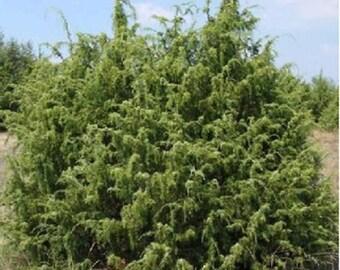 100 Common Juniper Tree Seeds, Juniperus Communis