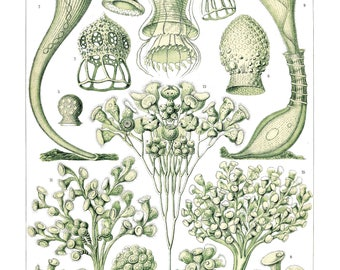 Ernst Haeckel's Vintage Artwork Ciliata