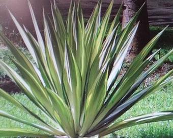 False Agave, Furcraea Foetida plant