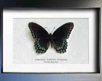 Real Butterfly White Admiral Red-Spotted Limenitis Arthemis Framed In Shadowbox