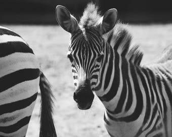 Baby Zebra - Zebras Wildlife Animal Print Photography Black and White Fine Art Print
