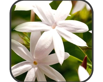 Jasmine Flowers - Jasminum