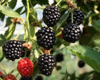 1 Arapaho  blackberry bareroot plant