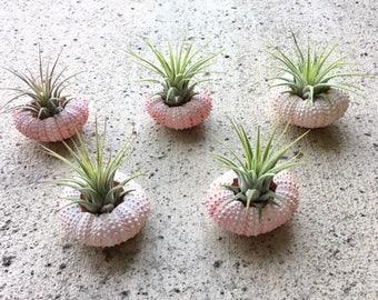 5 ionantha guatemala air plant in pink sea urchin shells - Tillandsia