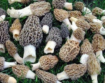 3 Pack Morel Varieties Dry Spores Outdoor Cultivation  Mushroom seeds  Millions of spores per pack!  Grow at home Morchella Tasty Profits