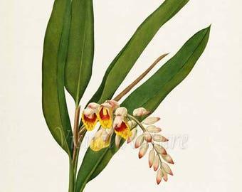 Shell Ginger Flower Art Print, Pink-Porcelain Lily Botanical Art Print, Flower Wall Art, Flower Print, Floral, Redoute, pink, Globba nutans