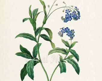 True forget-me-not Flower Art Print, Water Botanical Art Print, Wall Art, Flower Print, Floral, Redoute Art, blue, Myosotis scorpioides