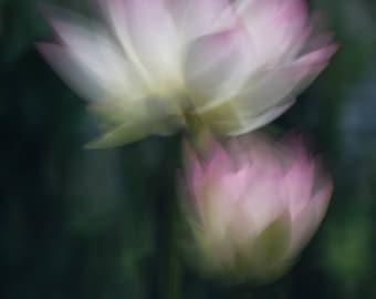 1,000 Petaled Lotus