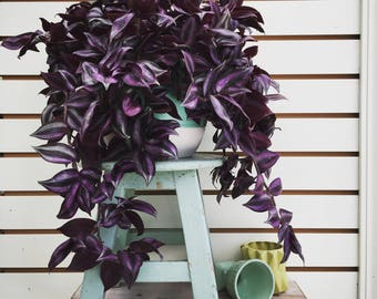 Beautiful Wandering Jew Cuttings (5)