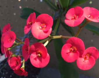 Euphorbia Millii - Crown of Thorns