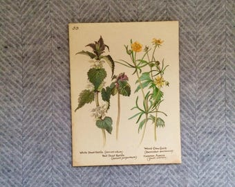 Genuine vintage framed botanical drawing, flower illustrations, botanical print, floral, in glass frame, yellow nettle