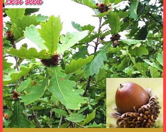 4pcs Oak Seeds Widely Cultivated Pin Oak Deciduous Tree Seeds