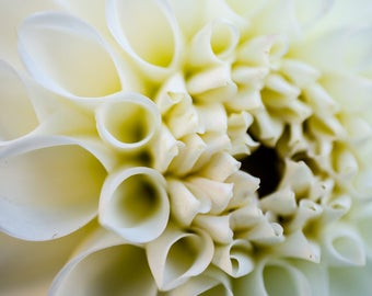 Closeup, white dahlia, fall afternoon, Jamaica Plain, abstract, flower, Boston. Metal print, glossy, wall art