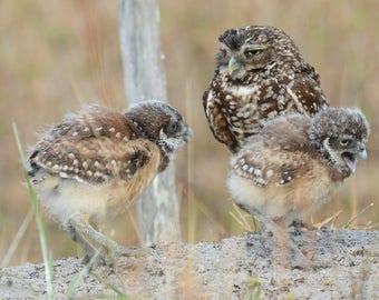 Framed Burrowing Owl family