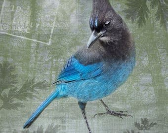 Blue Steller's Jay, Sky Blue Background with Urban and Forest Textures - Signed Fine Art Photograph