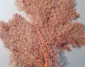 Red Select Sea Fan Coral EXACT ONE Pictured Premium Pick Natural Rust Orange Color Ocean Coastal Living Nautical Home Decor DIY Photo Props