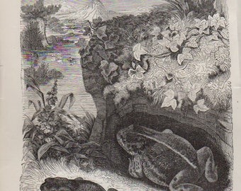 Antique Print 1892 COMMON TOAD And NATTER Jack Toad, lithograph original antique print
