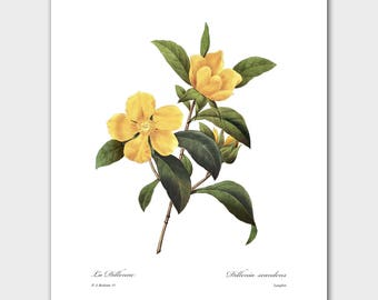 Botanical Print (Yellow Flower Art, French Wall Decor) -- Pierre Redoute