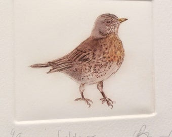 Fieldfare drypoint bird. Fine art Thrush. Winter migrant.