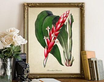 Bromeliad Botanical Print, Tulip Print, Red Bromeliad Giclee, Vintage Home Decor, Botanical History Art, Decorative Reproduction FL119