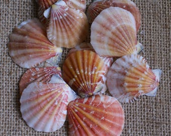 40 large and medium scallop seashells crafts candle craft for Big seashell crafts